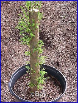 Pre Bonsai Bald Cypress #318