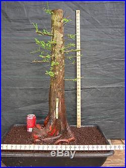 Pre Bonsai Bald Cypress #349