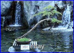Pre Bonsai Bald Cypress #442 ON SALE