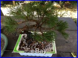 Pre Bonsai Dwarf Mugo pine