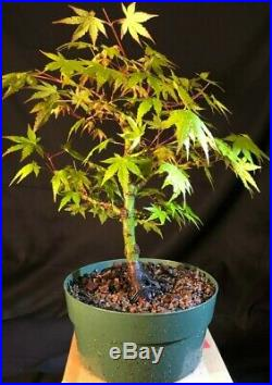 Pre Bonsai Japanese Maple, Acer palmatum 14 years