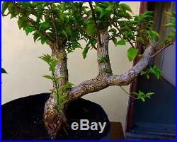 Pre-Bonsai Style Bougainvillea 3 Thick Trunk Purple Blooms #001