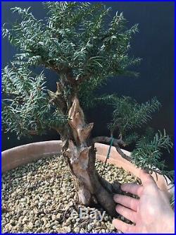 Pre Bonsai Tasso Taxus Baccata