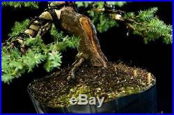 Pre Bonsai Tree Blue Alps Needle Juniper BANJ3G-201B