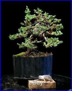 Pre Bonsai Tree Blue Alps Needle Juniper BANJ3G-728