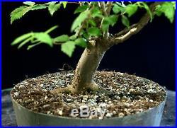 Pre Bonsai Tree Collected American Elm CAE-803G