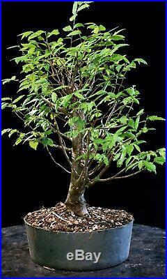Pre Bonsai Tree Collected American Elm CAE-803H