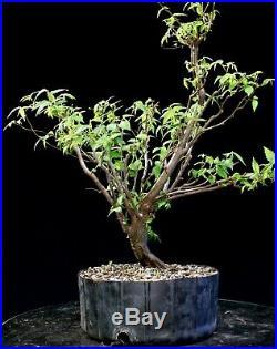 Pre Bonsai Tree Collected American Elm CAE-907F