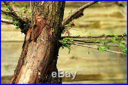 Pre Bonsai Tree Dawn Redwood DR7G-916A