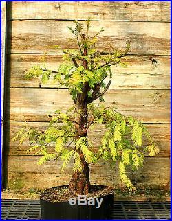 Pre Bonsai Tree Dawn Redwood DR7-916C