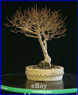 Pre Bonsai Tree Dwarf Crape Myrtle DCM-1208