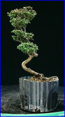 Pre Bonsai Tree Hinoki Cypress Sekka HCS-225C