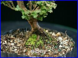 Pre Bonsai Tree Hinoki Cypress Sekka HCS-225D