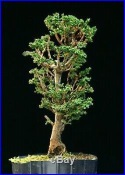 Pre Bonsai Tree Hinoki Cypress Sekka HCS-225E
