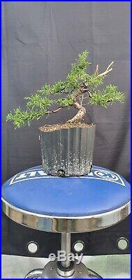 Pre Bonsai Tree Itoigawa Shimpaku Juniper