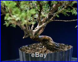 Pre Bonsai Tree Itoigawa Shimpaku Juniper IJ1G-926A