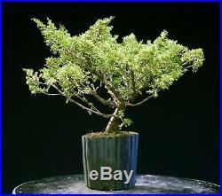 Pre Bonsai Tree Itoigawa Shimpaku Juniper IJ1G-926B