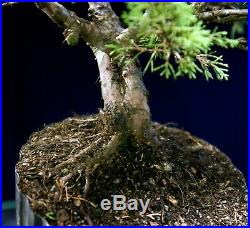 Pre Bonsai Tree Itoigawa Shimpaku Juniper IJ1G-926F