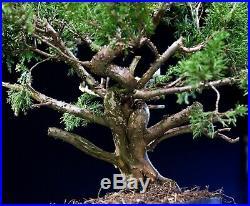 Pre Bonsai Tree Itoigawa Shimpaku Juniper IJ3G-926B