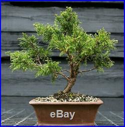Pre Bonsai Tree Itoigawa Shimpaku Juniper SJI-304A