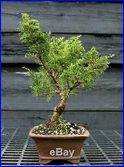 Pre Bonsai Tree Itoigawa Shimpaku Juniper SJI-304C