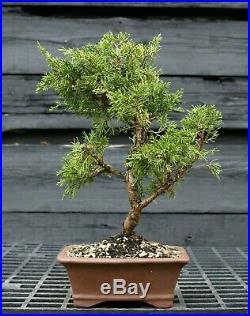 Pre Bonsai Tree Itoigawa Shimpaku Juniper SJI-304D