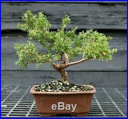 Pre Bonsai Tree Itoigawa Shimpaku Juniper SJI-304E