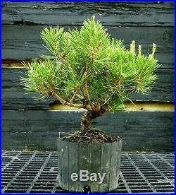 Pre Bonsai Tree Japanese Black Pine JBP1G-417A