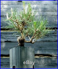 Pre Bonsai Tree Japanese Black Pine JBP1G-515C