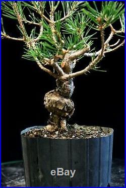 Pre Bonsai Tree Japanese Black Pine JBP1G-804A