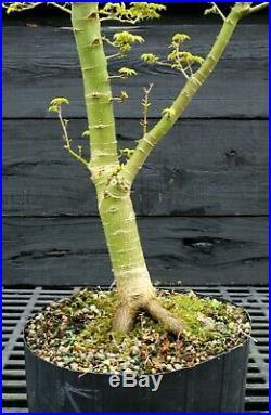 Pre Bonsai Tree Japanese Maple Shishigashira JMSG3G-303