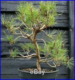 Pre Bonsai Tree Japanese Red Pine JRP3G-303B