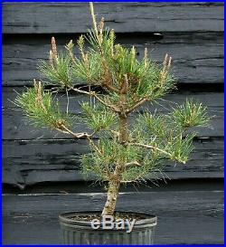 Pre Bonsai Tree Japanese Red Pine JRP3G-303D