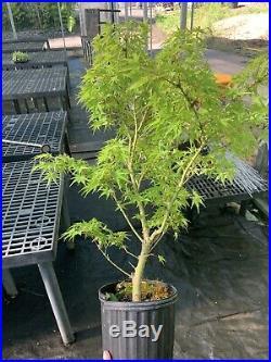 Pre Bonsai Tree Sharps Pygmy Japanese Maple