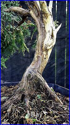 Pre Bonsai Tree Shimpaku Juniper Kishu SJ3G-715A