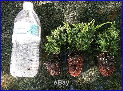 Pre Bonsai Tree Shimpaku Juniper Well Rooted Cutting 3-5 Inches Tall