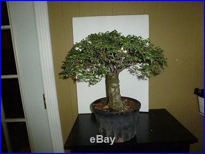 Pre bonsai chinese elm