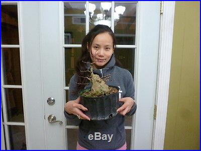 Pre bonsai crape myrtle with pink flowers/good shohin material