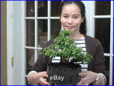 Pre bonsai satsuki Azalea with pink flowers/good material to make a shohin