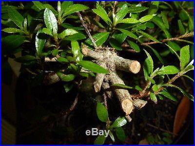Pre bonsai satsuki azalea that blooms small pink flowers. Great shohin material