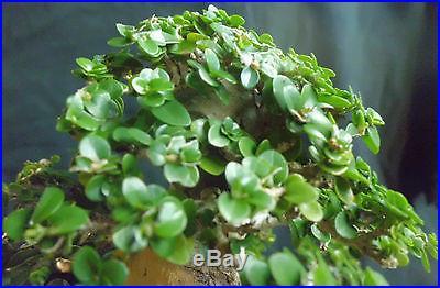 Premna Microphylla Bonsai Tree