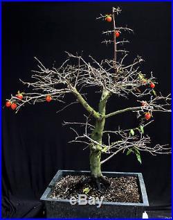 Princess persimmon specimen bonsai tree #B