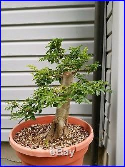 Privet Bonsai Tree