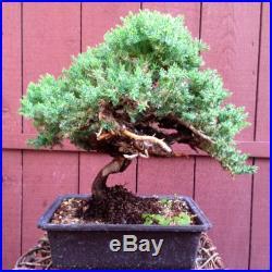 Procumbens Juniper Nana Bonsai Tree Specimen (tag Shimpaku)