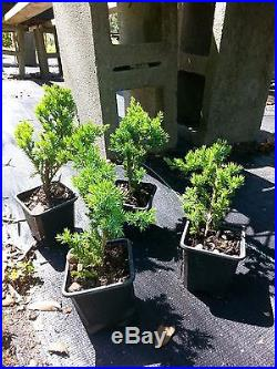 Procumbens Nana Juniper, Bonsai starter, Evergreen, 100 plants, FREE delivery