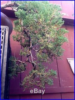 Procumbens Nana Juniper Cascade Bonsai Specimen