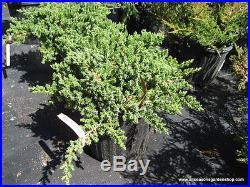 Procumbens Nana Juniper, Evergreen, great for bonsai, FIVE plants