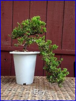 Procumbens Nana Juniper bonsai specimen