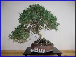 Prostrata Juniper Bonsai
