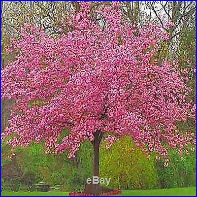 how to grow japanese sakura seeds